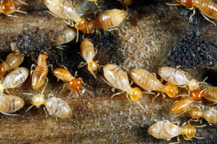 Termite Control - nest - Cape Cod Pest Pros
