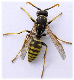 wasp - One-Time Treatments