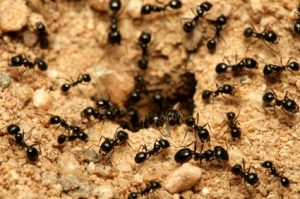 Black Ants- Cape Cod Pest Pros