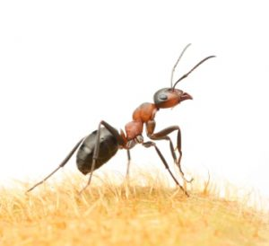 Field Ant - One-Time Treatments