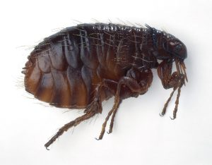 Adult Flea - One-Time Treatments