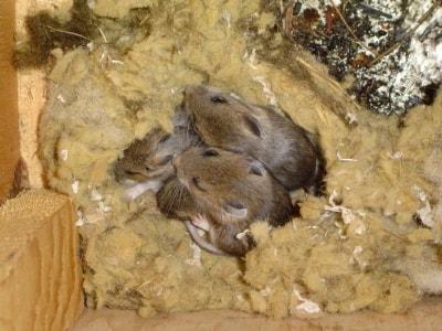 Mouse Exterminator Cape Cod Pest Pros