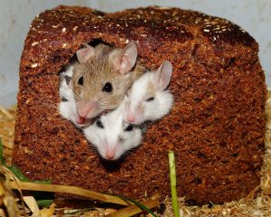 Where Do Mice Hide in a House