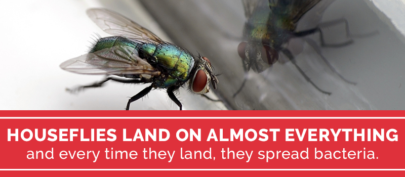 houseflies in your home