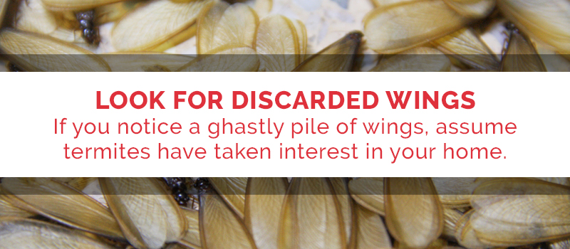 look for discarded pest wings