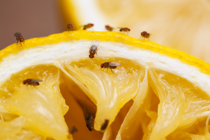 fruit fly control services